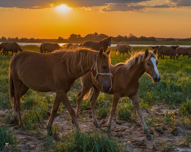 астраханская область, лошадь, жеребёнок, солнце, трава, домашнее животное, закат, лошадь, река, волга, дельта, пастбище, Лошади на пастбище берега Волгиphoto preview