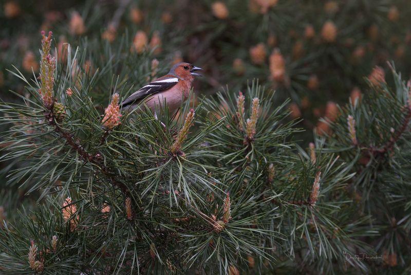 природа, лес, животные, птицы Вокалистphoto preview