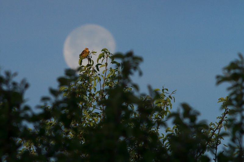 bird,moon,morning,forest,sky,blue,birds,scenery,beauty,perspective,beautiful,spring Guardian of the Moonphoto preview