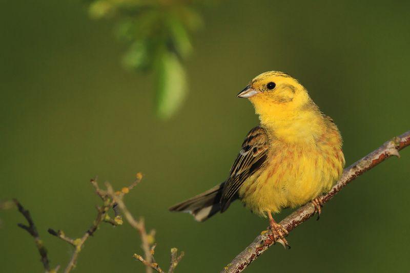 bird,yellow,green,spring,morning,birds,songbird,scene,forest,woods,beauty Yellowhammerphoto preview