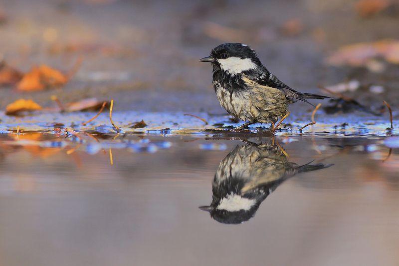 mirror,autumn,beauty,nature,wild,bird,wildlife,forest,birds,puddle,scenery,water Autumn mirrorphoto preview