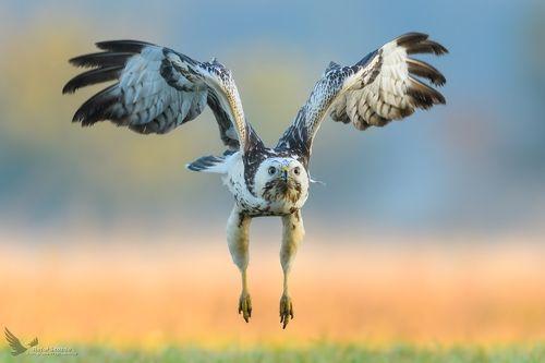 Myszołów, Common Buzzard (Buteo buteo) ... 2018r