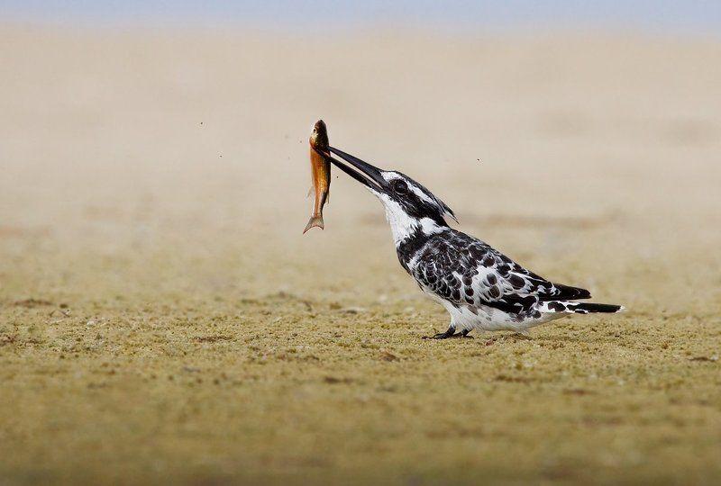 малый, пегий, зимородок кровожадный зимородокphoto preview
