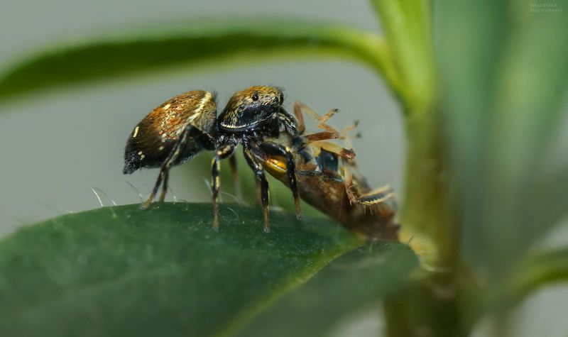 макро, природа, насекомые, паук, скакун, цикадка, macro, nature, insects, spider, leafhopper хрум-хрумphoto preview