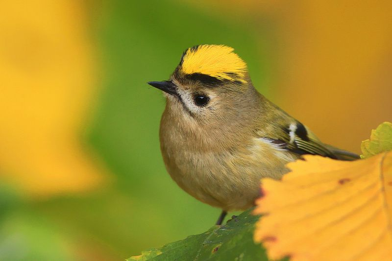 bird,yellow,green,wildlife,nature,color,beautiful,scene,woods,scenery,autumn,wild,beauty,forest,birds,natural,king The Kingphoto preview