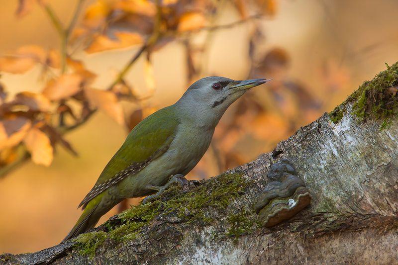 birds, wild, poland, katowice Седой дятелphoto preview