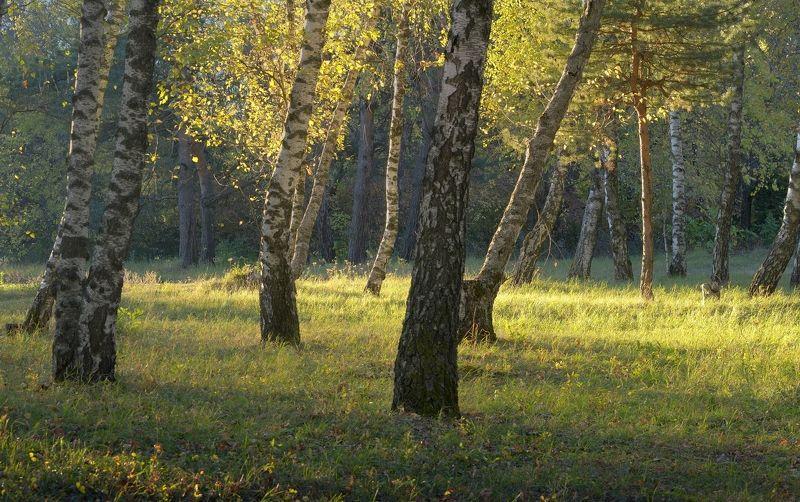 осень рассвет лес листва береза Утро в березовой рощеphoto preview