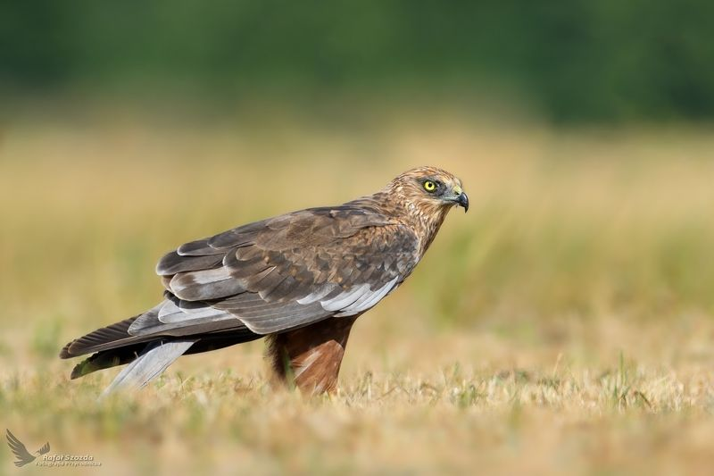birds, nature, animals, wildlife, colors, meadow, summer, nikon, nikkor, lubuskie, poland Błotniak Stawowy, Western Marsh-Harrier (Circus aeruginosus) ... 2018rphoto preview
