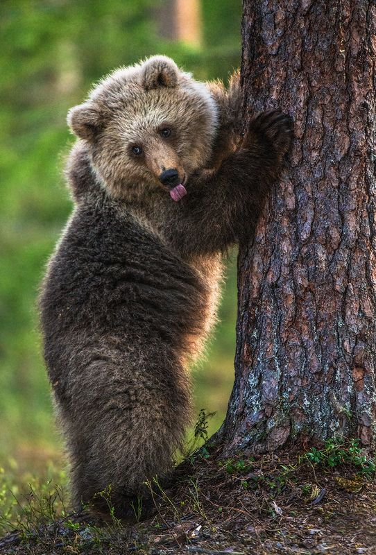 медведь, бурый, bear, brown :Рphoto preview