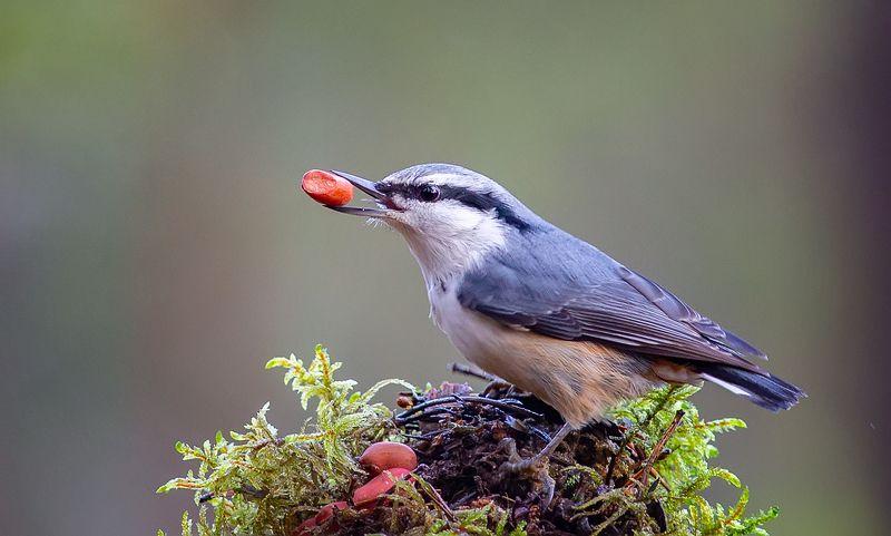 поползень,птицы,анималистика,север,печора,коми,осень Поползеньphoto preview