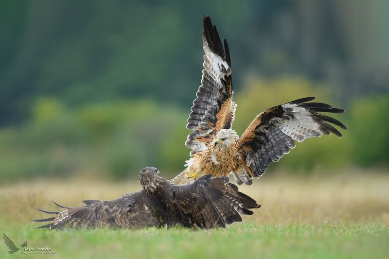 birds, nature, animals, wildlife, colors, fight, meadow, green, red kite, nikon, nikkor, lens, lubuskie, poland, aviation, wings Kania Ruda, Red Kite (Milvus milvus) vs Myszołów, Common Buzzard (Buteo buteo) ... 2018rphoto preview