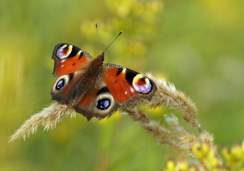 Бабочка Павлиний глаз ***photo preview