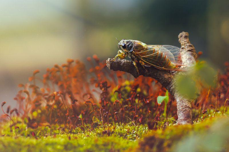 макро, природа, насекомые, цикада, мох, боке, macro, nature, insects, cicada, moss, bokeh, ***photo preview