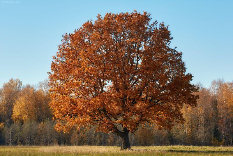 дуб, осень * * *photo preview