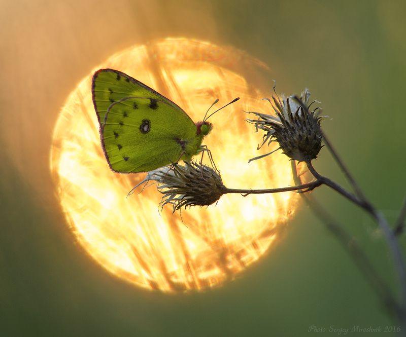 Бабочка, вечер, солнце, закат, макро, природа В огненном кругеphoto preview