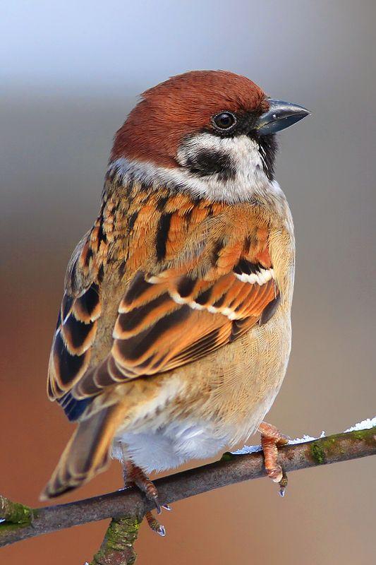 bird,wildlife,nature,afternoon,tree,color,scene,sparrow,birds,wild,beauty,winter,garden,background,scenery Tree Sparrowphoto preview
