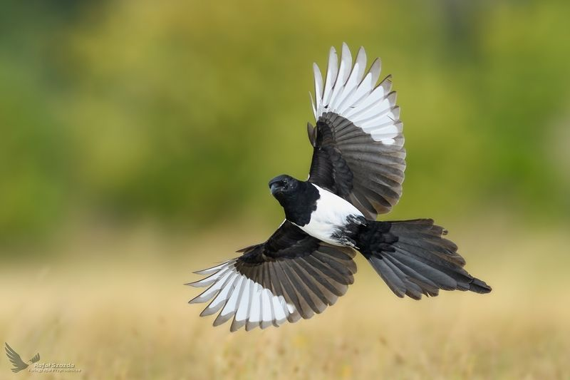 birds, nature, animals, wildlife, colors, meadow, summer, flight, wings, nikon, nikkor, lens, lubuskie, poland Sroka, Eurasian Magpie (Pica pica) ... 2018rphoto preview