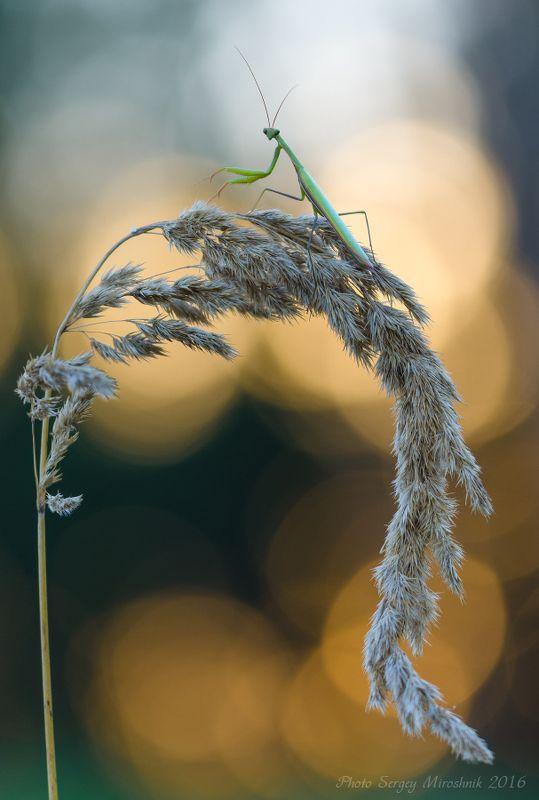 Богомол, вечер, солнце, макро, растение, природа Вечерний гостьphoto preview