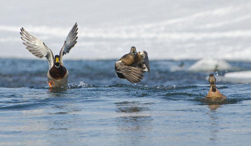 утки, кряквы Навстречу ветруphoto preview