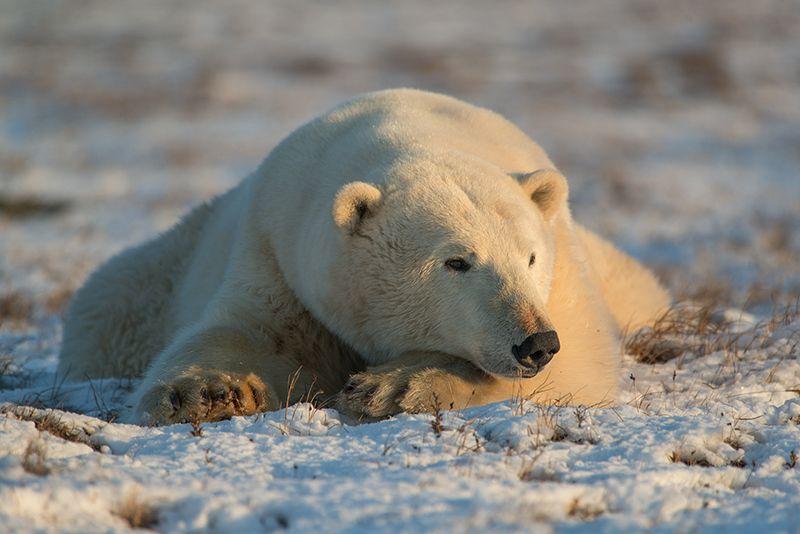 чукотка арктика море медведь белый полярный морской мыс кожевникова Мечты....photo preview