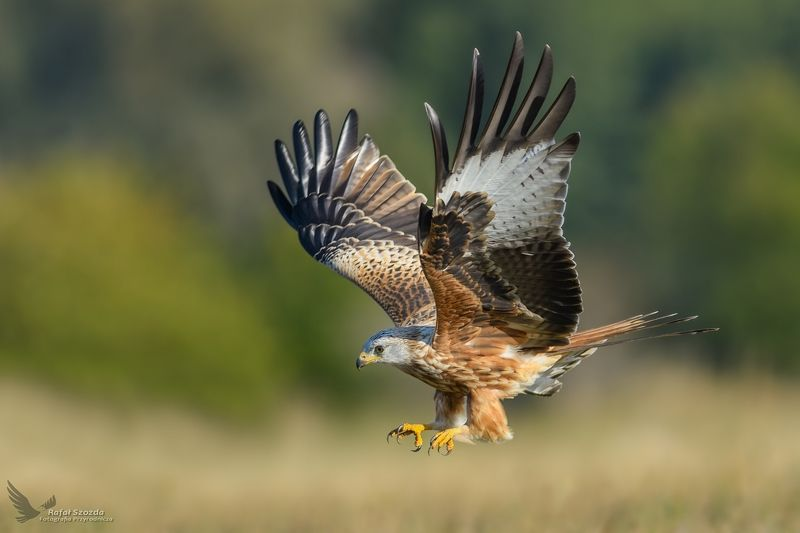 red kite, birds, nature, animals, wildlife, colors, meadow, wings, autumn, flight, nikon, nikkor, lens, lubuskie, poland Kania Ruda, Red Kite (Milvus milvus) ... 2018rphoto preview