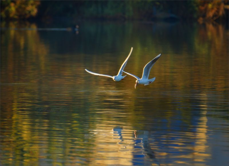 чайки, птицы, фауна, животные, вода На ужин!photo preview