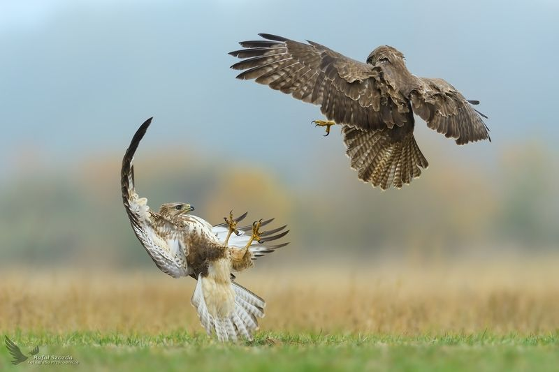birds, nature, animals, wildlife, colors, meadow, autumn, fight, flight, green, wild, nikon, nikkor, lens, lubuskie, poland Myszołowy, Common Buzzard (Buteo buteo) ... 2018rphoto preview
