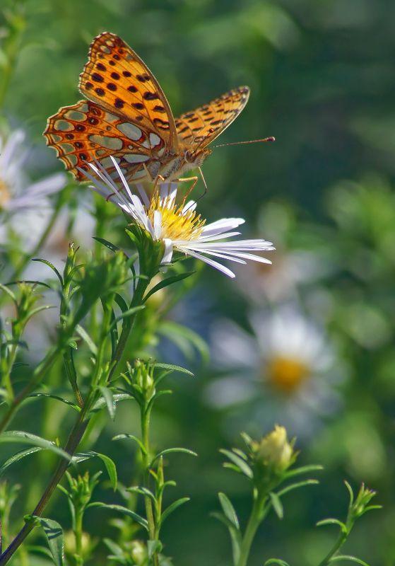 Бабочка, Перламутровка Перламутровкаphoto preview