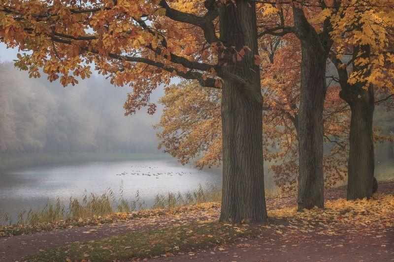 пушкин, царское село, парк, пруд, туман, осень, дубы, октябрь, золотая осень, листопад, утро, рассвет У пруда в Екатерининском паркеphoto preview