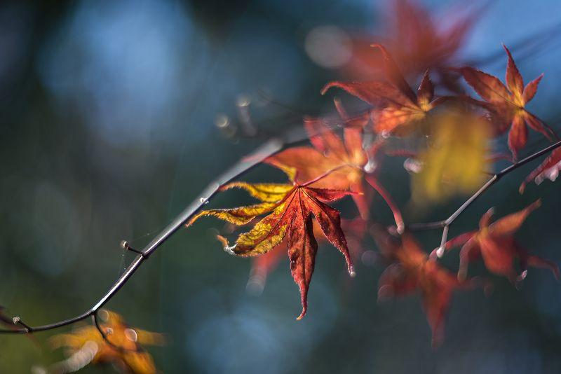 природа, макро, осень, кленовые листья Кленовый браслетphoto preview