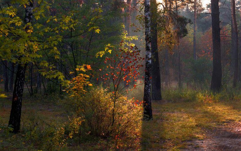 landscape, пейзаж, утро, лес, сосны, деревья, солнечный свет, солнечные лучи, солнце, природа, осень, осенние зарисовкиphoto preview