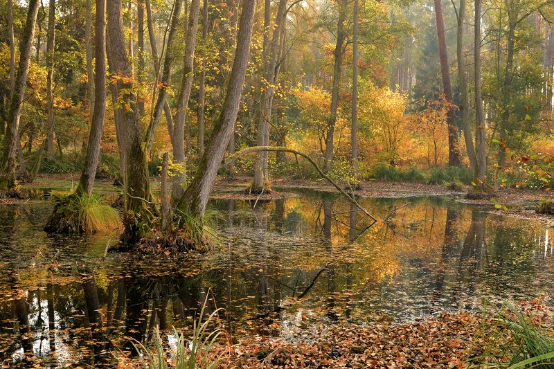 forest wetlands mist dranikowski autumn fall water small lake trees magic garden las Forest wetlandsphoto preview