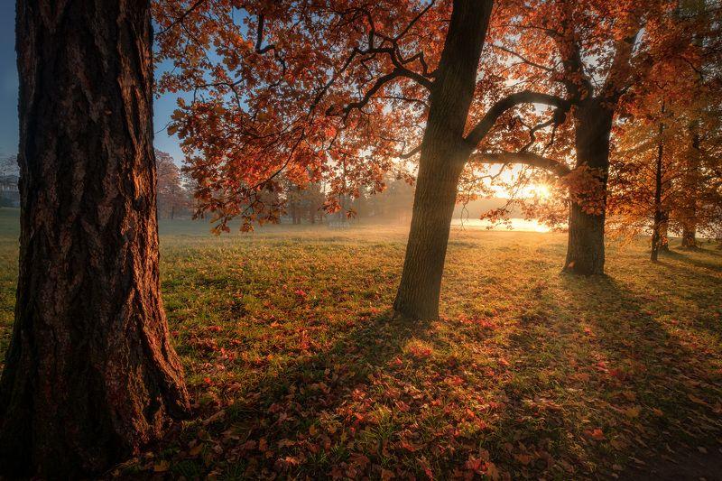 пушкин, царское село, парк, осень, туман, дубы, октябрь, золотая осень, листопад, утро, рассвет Золотая осень в Екатерининском паркеphoto preview