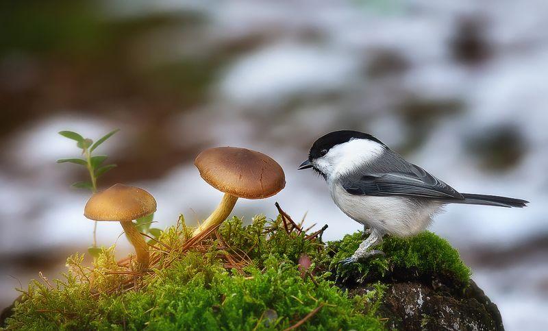 гаичка,птицы,анималистика,север,печора,коми,осень,грибы Осень не сдаётся, а ведь уже конец октябряphoto preview