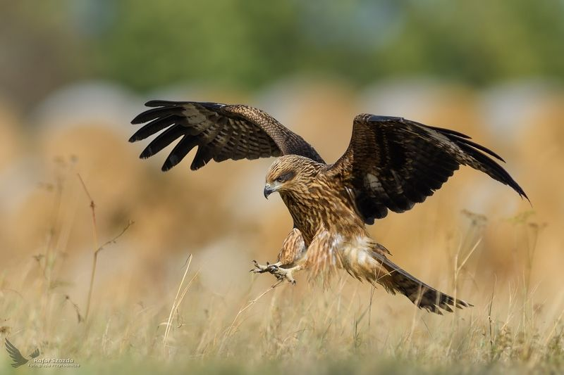 black kite, birds, nature, animals, wildlife, colors, meadow, landing, nikon, flight, nikkor, lens, lubuskie, poland, autumn Kania Czarna, Black Kite (Milvus migrans) ... 2018rphoto preview