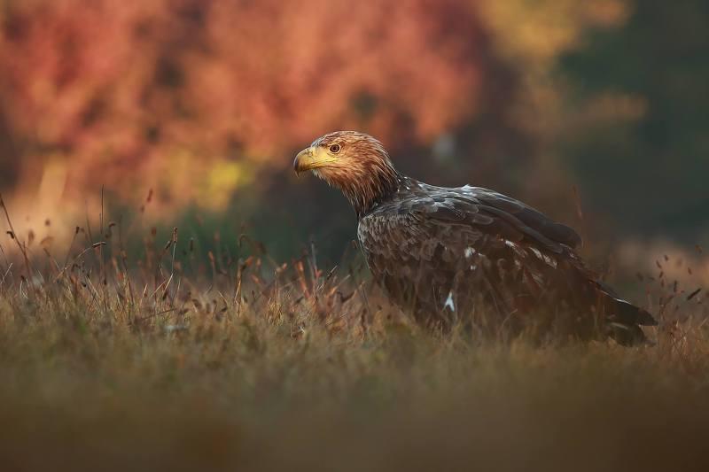 Autumn eaglephoto preview