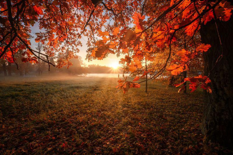 пушкин, царское село, листья, парк, осень, дубы, октябрь, золотая осень, листопад, утро, рассвет Солнце в листьяхphoto preview