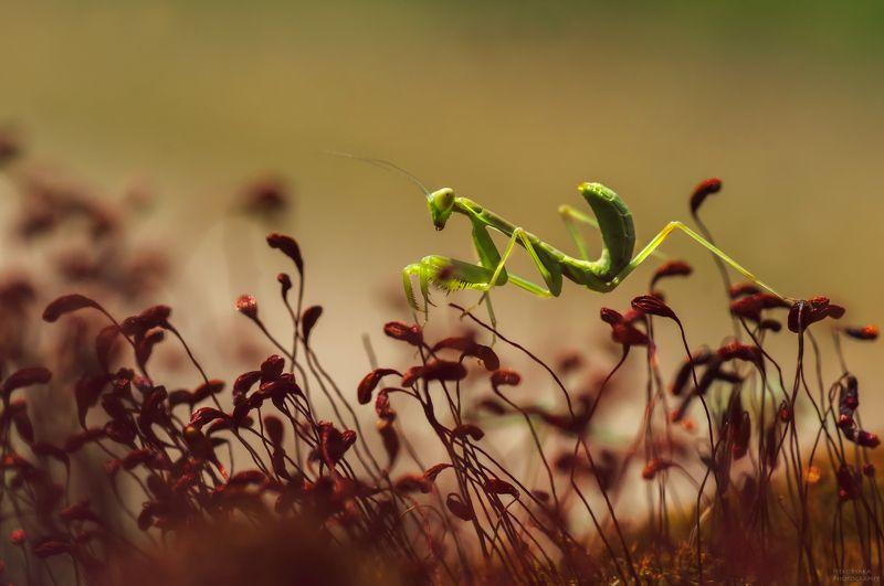 макро, природа, растения, мох, насекомые, богомол, macro, nature, plants, moss, insects, mantis, Эквилибристphoto preview