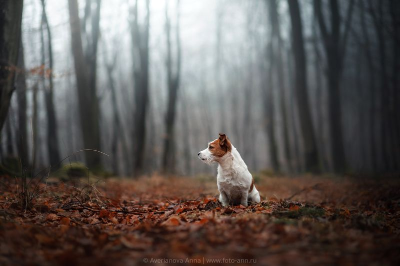 собака, туман, осень осенний туманphoto preview