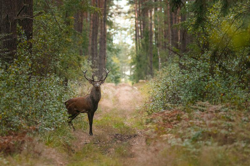 deer, wildlife, forest Zbyszekphoto preview
