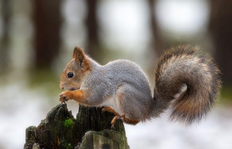 белка,белки,осень,север,природа,коми,животные,векша Векшаphoto preview