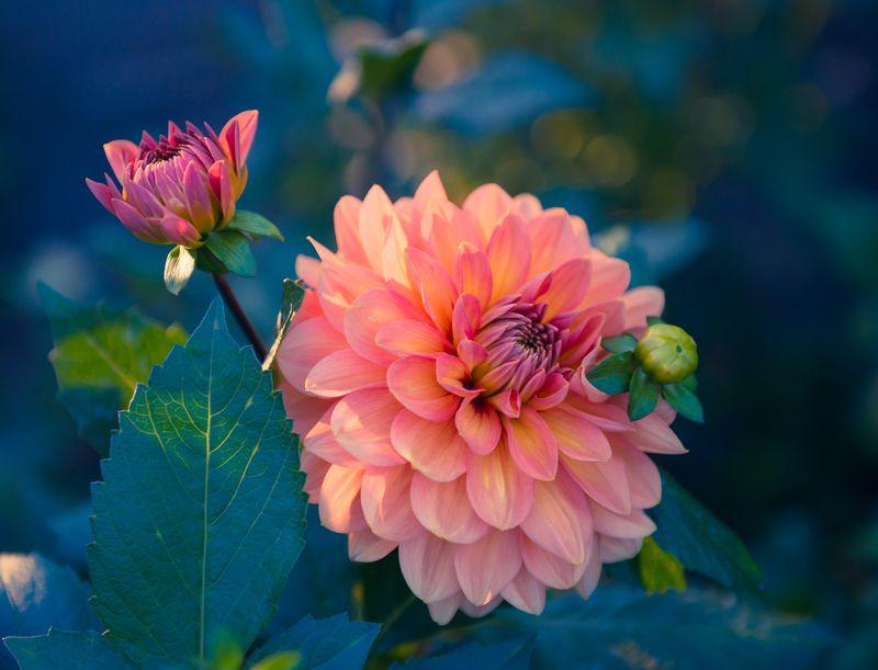 цветы, хризантемы Подарок увядающей пореphoto preview