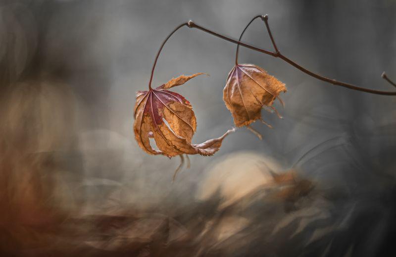 природа, макро, осень, кленовые листья, непогода \