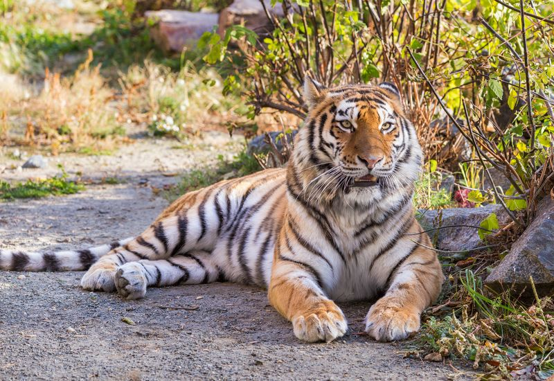 амурский тигр, тигры, кошки Амурская тигрицаphoto preview