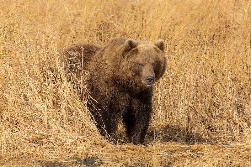 камчатка, медведь, животные, путешествие, осень, река, кроноцкая, Хмурый мишкаphoto preview