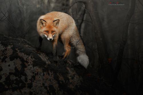 Лис в сгоревшем лесу
