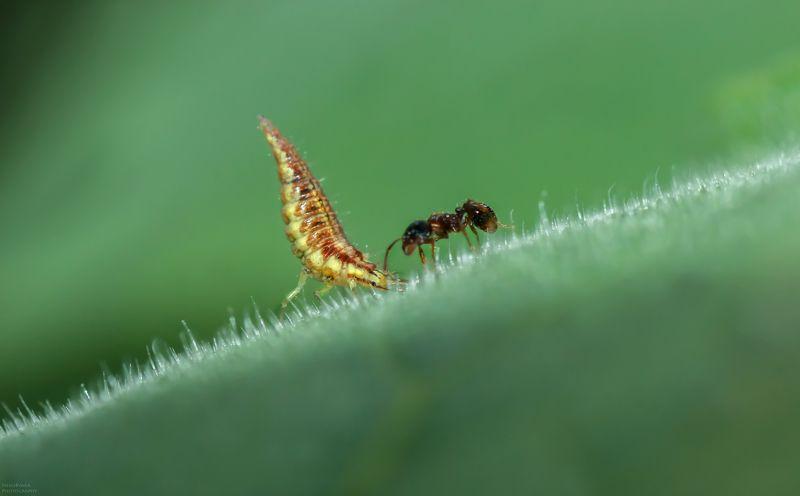 макро, природа, насекомые, муравей, златоглазка, личинка, macro, nature, insects, ants, lacewing larva, Врагиphoto preview