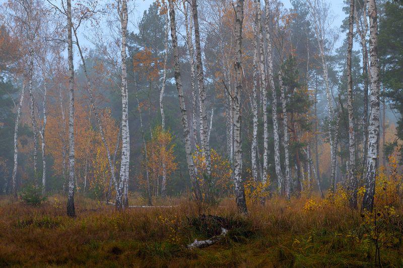 осень, октябрь, лес, туман, сырость, берёзы В шалом воздухе сыростью пахнетphoto preview