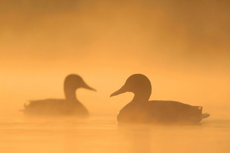 bird,river,mist,morning,wildlife,nature,color,beautiful,scene,water,scenery,autumn,wild,beauty,birds,light,dawn At Dawnphoto preview