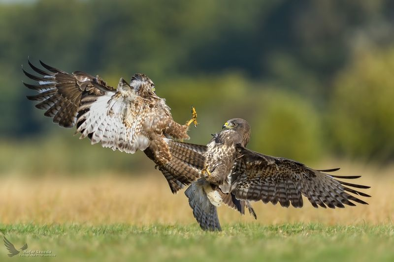 buzzards, birds, nature, animals, wildlife, fight, flight, meadow, autumn, nikon, nikkor, lens, lubuskie, poland Myszołowy, Common Buzzard (Buteo buteo) ... 2018rphoto preview